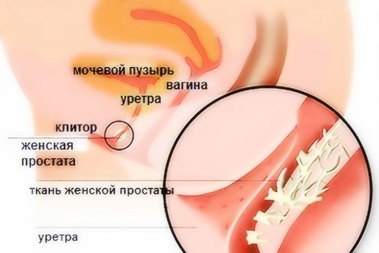 Есть ли у женщин предстательная железа?